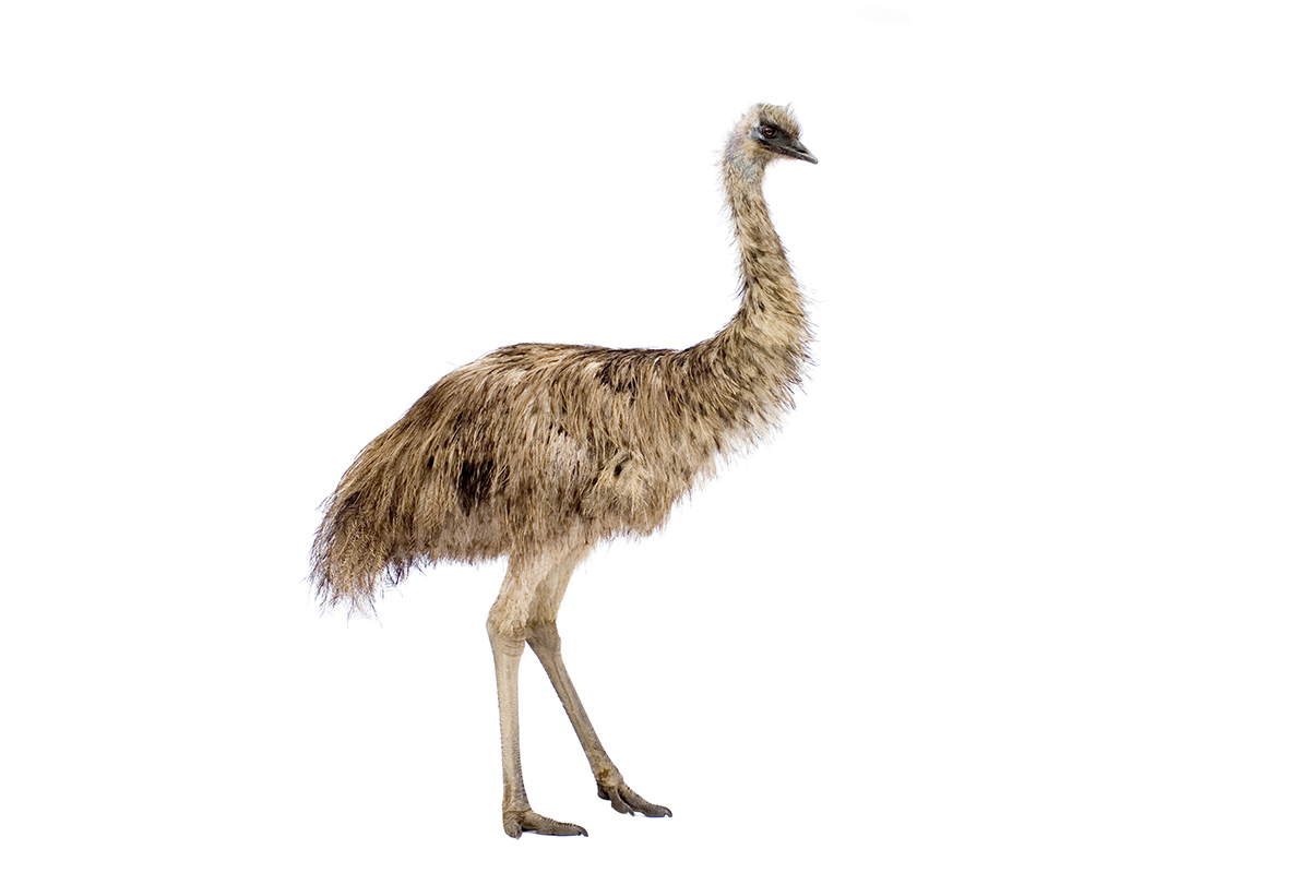 page emu